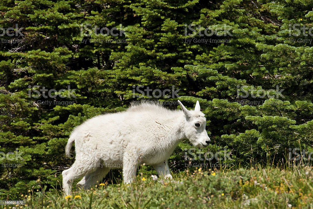Mountain Goat Kid in an Alpine Meadow The Mountain Goat (Oreamnos Americanus), also known as the Rocky Mountain Goat, is a large-hoofed ungulate found only in North America. A subalpine to alpine species, it is a sure-footed climber commonly seen on cliffs and in meadows. This kid goat was photographed strolling through an alpine meadow near Logan Pass in Glacier National Park, Montana, USA. Animal Stock Photo