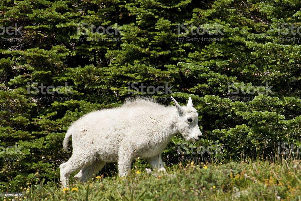 Mountain Goat Kid in an Alpine Meadow royalty-free stock photo