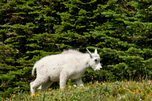 Mountain Goat Kid In An Alpine Meadow Stock Photo - Download Image Now