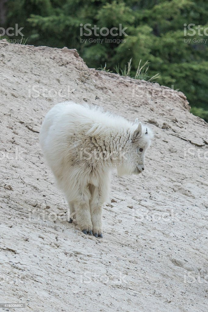 Mountain Goat kid stock photo