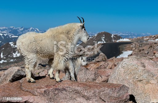 A Mountain Goat and Her Kid Trekking Through the Mountains