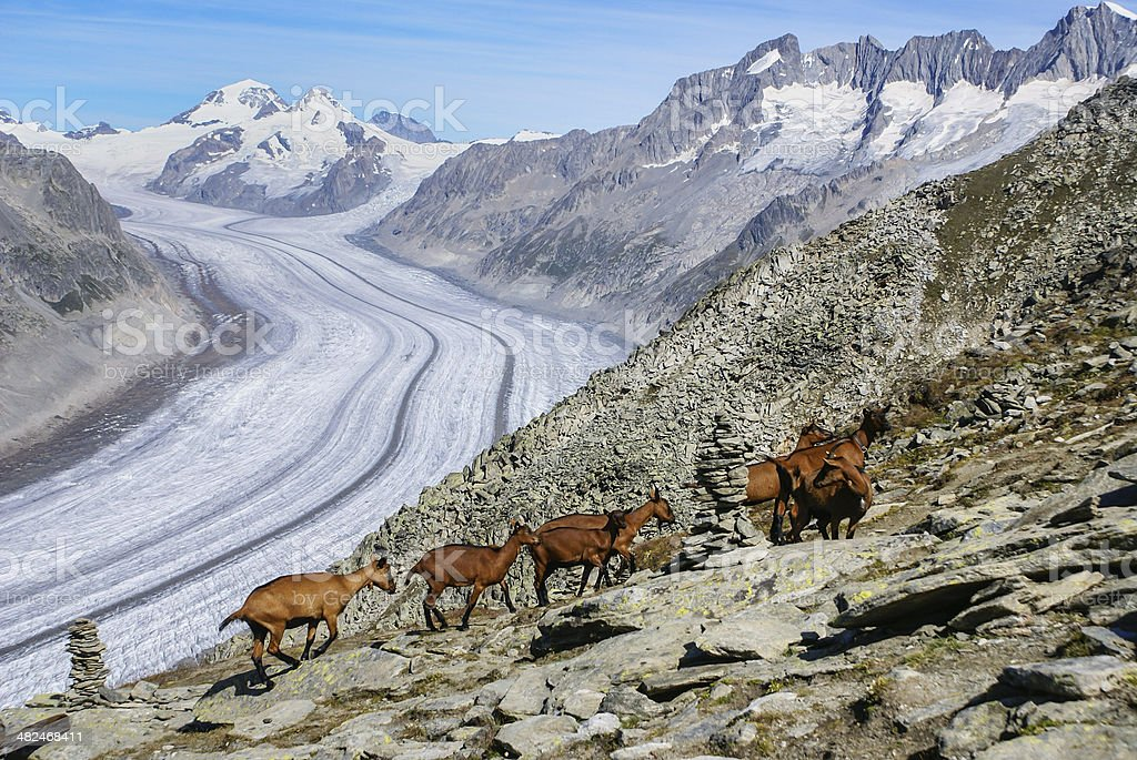 Mountain goat on a background of the glacier aletchs stock photo