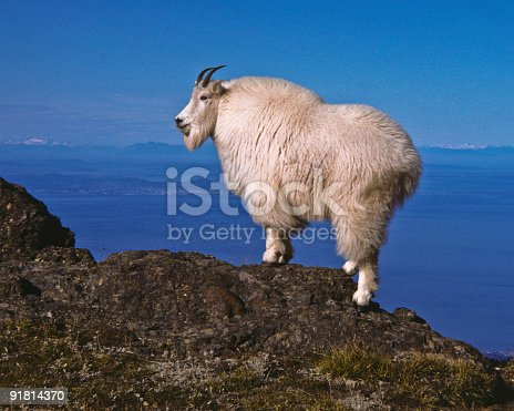 The Mountain Goat (Oreamnos Americanus), also known as the Rocky Mountain Goat, is a large-hoofed ungulate found only in North America. A subalpine to alpine species, it is a sure-footed climber commonly seen on cliffs and in meadows. The species is not native to the Olympic Penninsula where they were introduced during the early 20th century. This goat was photographed on Klahane Ridge in Olympic National Park, Washington State, USA.