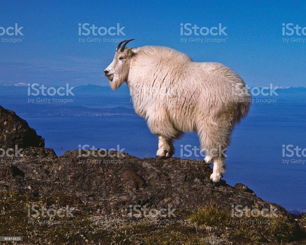 Mountain Goat on a Ridge stock photo