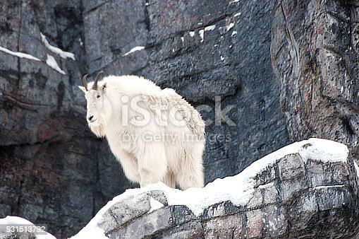 Mountain Goat on Rocky ledge December- Alberta. Close-up with winter fur.