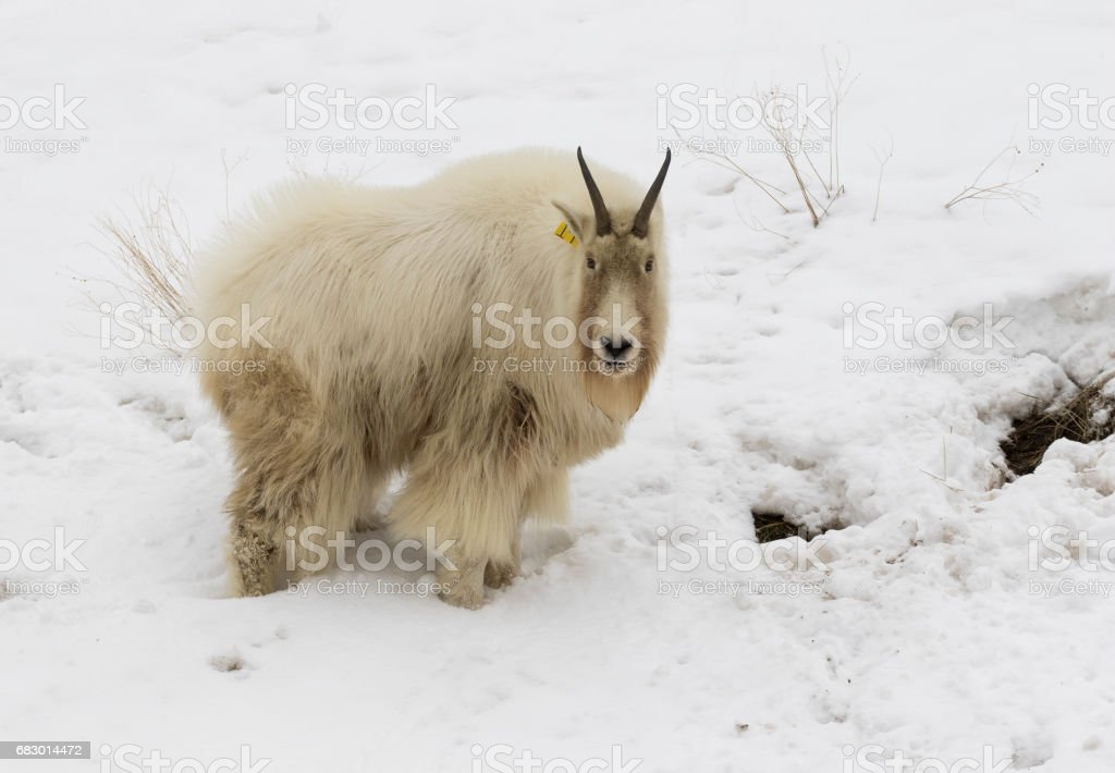 Mountain goat on snow hill with dirty face and body from eating forage from ground royalty-free stock photo