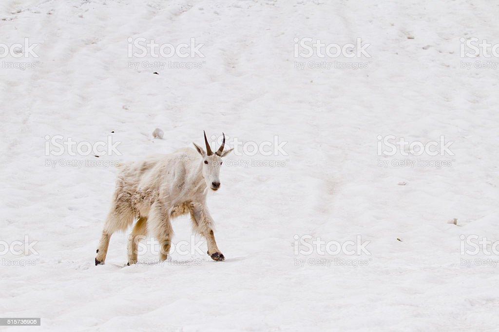 Mountain Goat on Snow stock photo