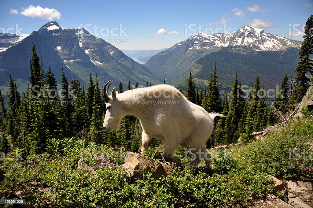 A spring mountain goat climbing along the trail in Glacier National...