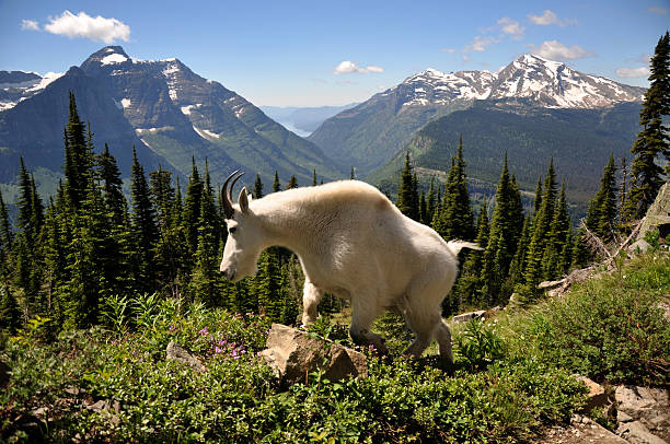 mountain goat on the highline trail, glacier national park, montana - us glacier national park stock pictures, royalty-free photos & images