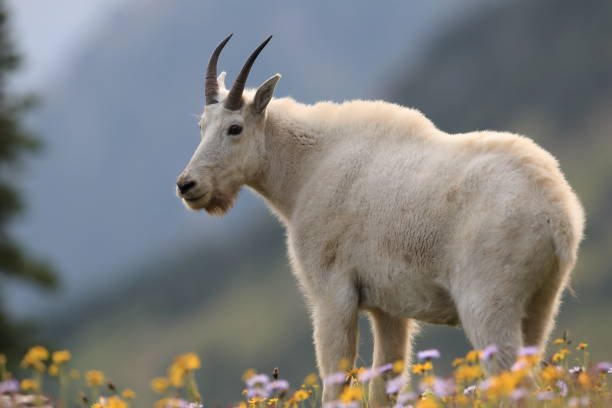 Mountain Goat Oreamnos Americanus Glacier National Park, Montana USA - Photo
