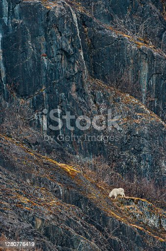Mountain goat, Oreamnos americanus,  in Prince William Sound, Alaska.