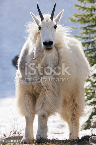 A mountain goat ram Oreamnos americanus stares straight at the camera, standing on all fours, with its shaggy winter coat shedding.  Close-up, tightly composed within the vertical frame.