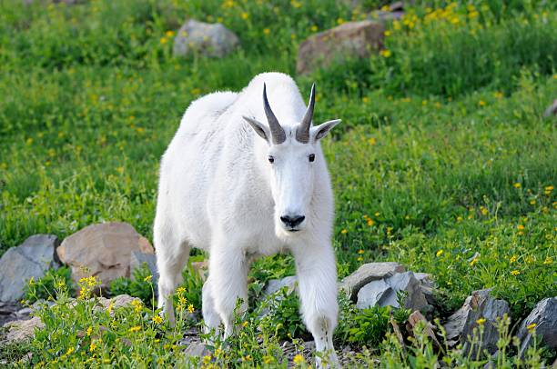 mountain goat - logan pass stock pictures, royalty-free photos & images