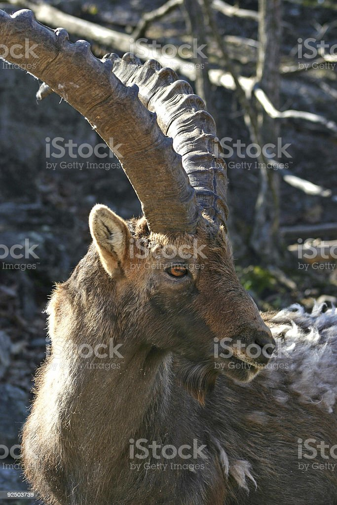 Mountain Goat royalty-free stock photo