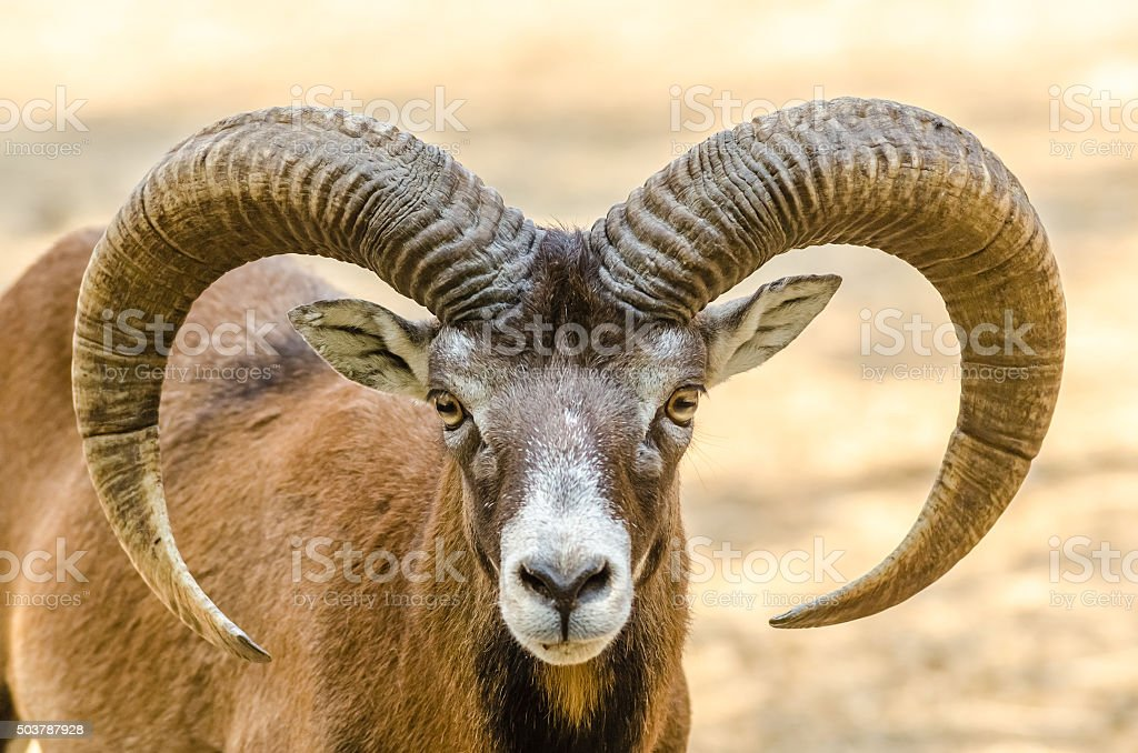 Mountain Goat Portrait stock photo
