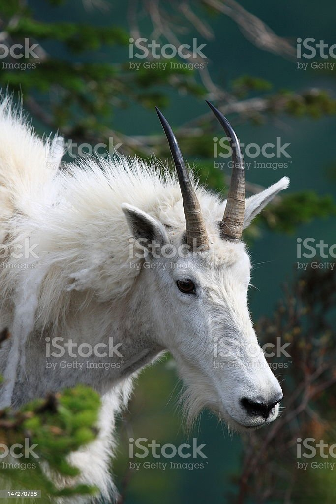 Mountain Goat Profile royalty-free stock photo