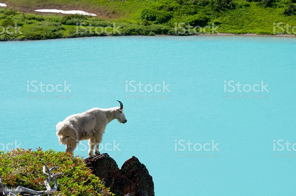 Mountain Goat Standing on Rock Overlooking Scenic Glacial Lake royalty-free stock photo