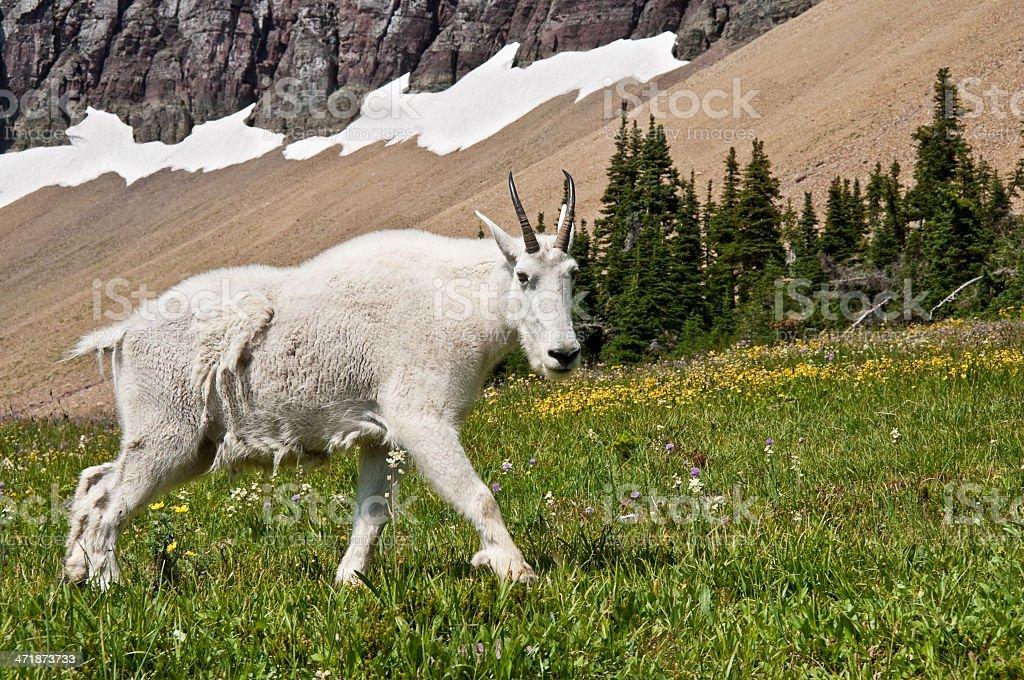 Mountain Goat Walking Beneath a Talus Slope royalty-free stock photo