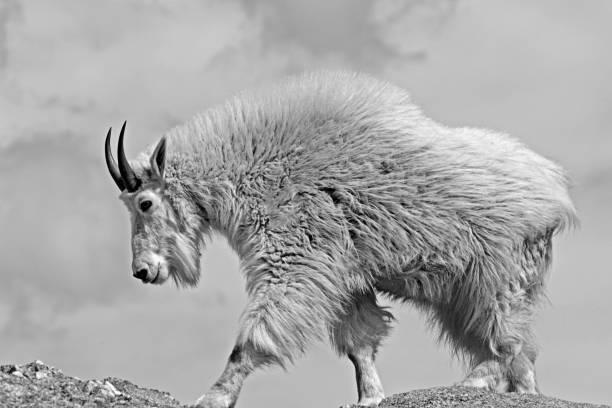 Mountain Goat walking on Black Elk Peak Black Hills South Dakota United States stock photo