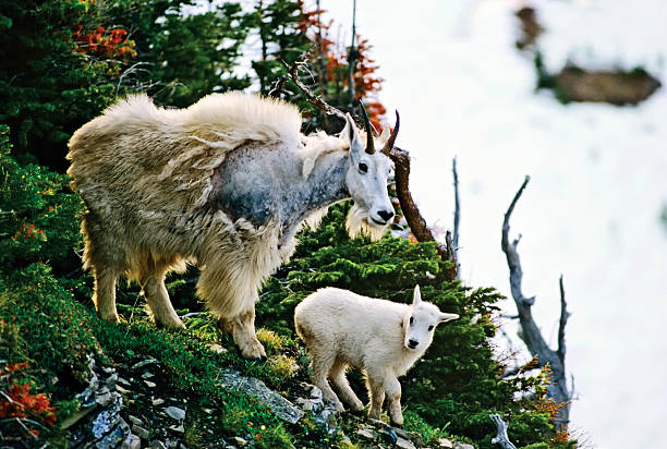 mountain goat with baby - british columbia glacier national park stock pictures, royalty-free photos & images