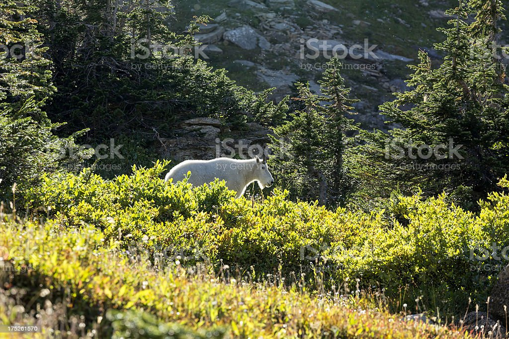 Mountain Goat with Rim Lighting stock photo