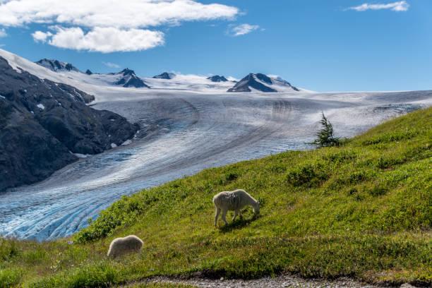 mountain goats and glaciers in alaska - moraine стоковые фото и изображения