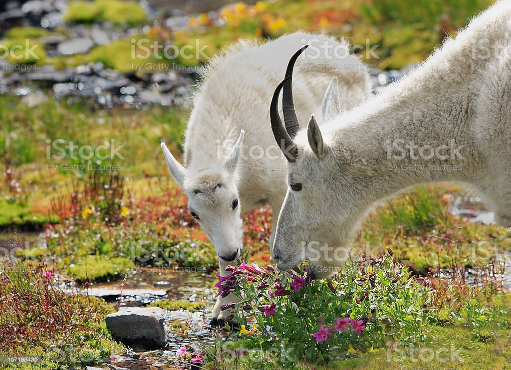 Mountain goats grazing in alpine meadow stock photo