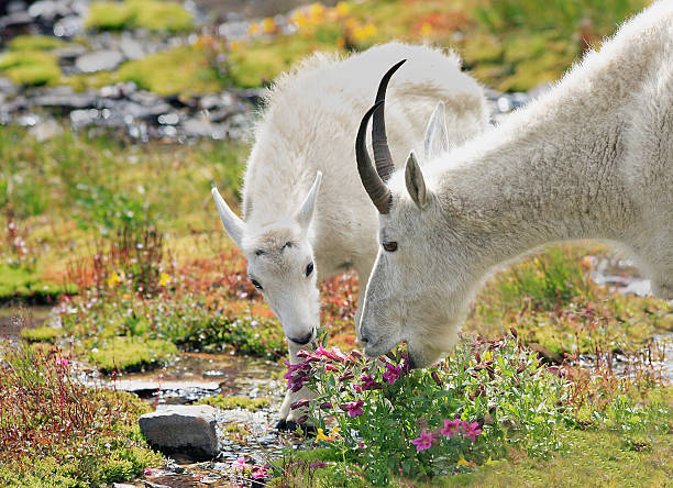 mountain goats grazing in alpine meadow - us glacier national park stock pictures, royalty-free photos & images