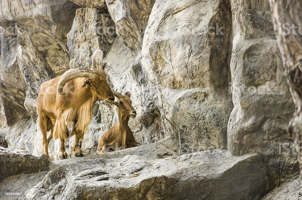 Mountain Goats in Love royalty-free stock photo