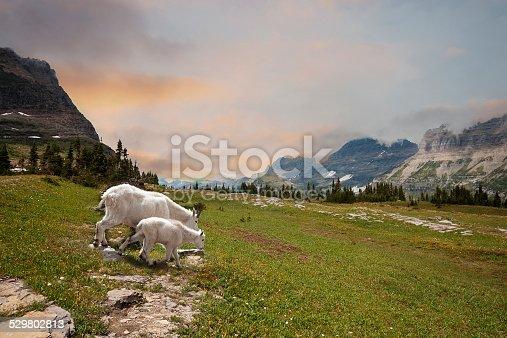 Mountain Goats Nanny and Kid in Glacier Park, Montana USA