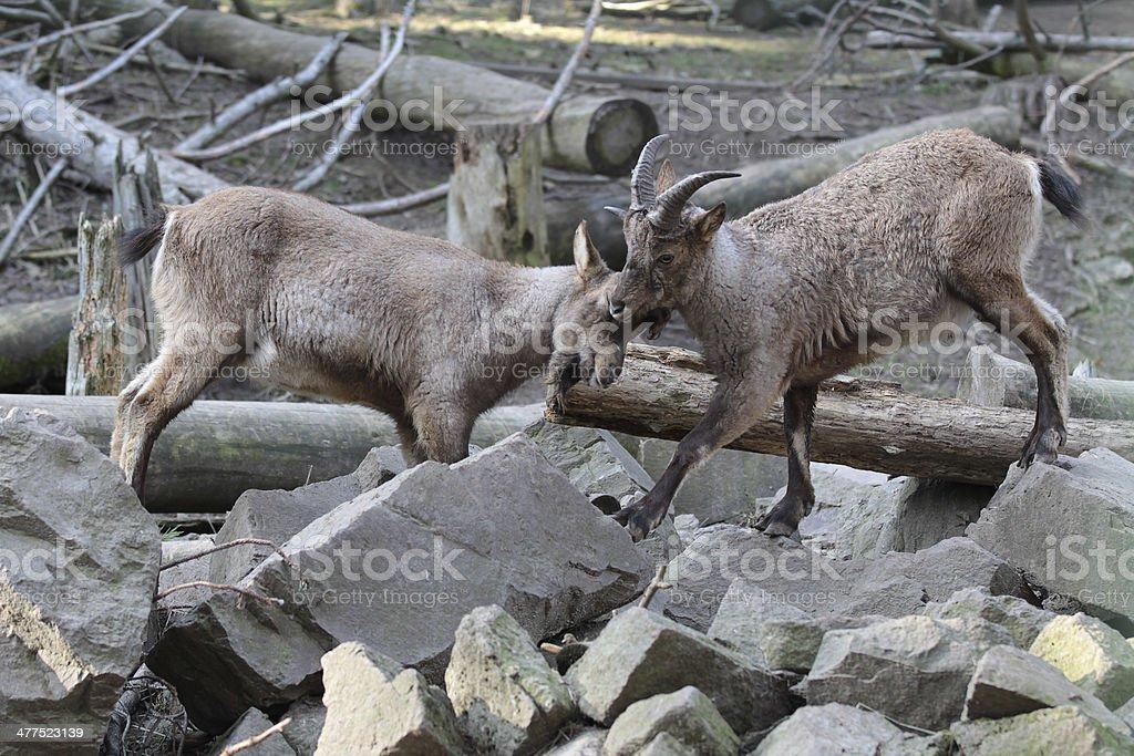 Mountain goats royalty-free stock photo