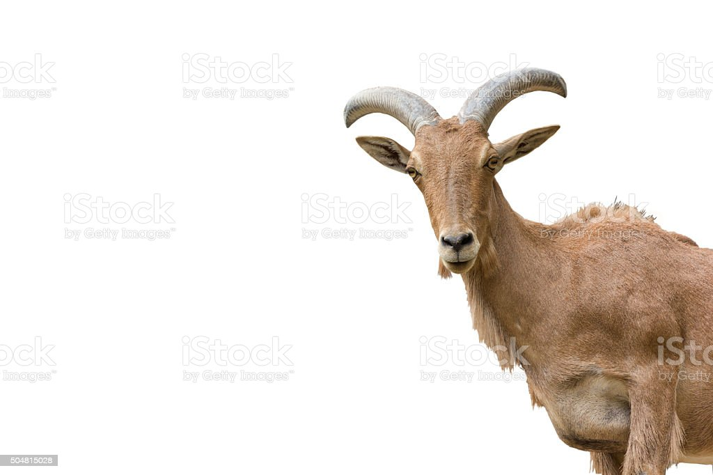 mountain goats stock photo
