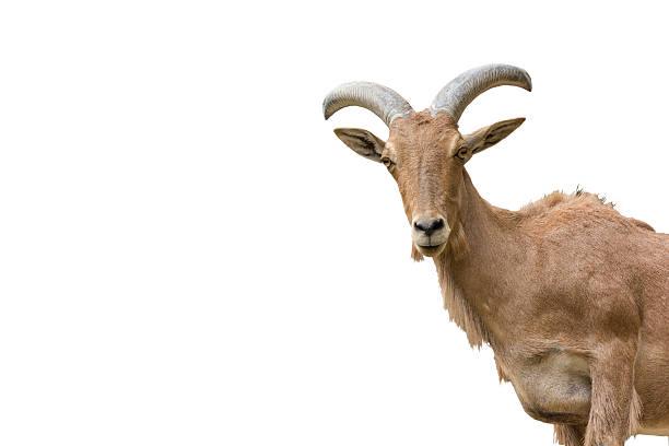 Chèvres de montagne - Photo
