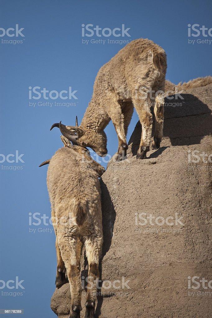Fauna montana toccando teste foto stock royalty-free