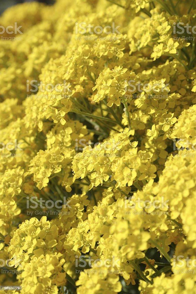 Mountain gold alyssum royalty-free stock photo