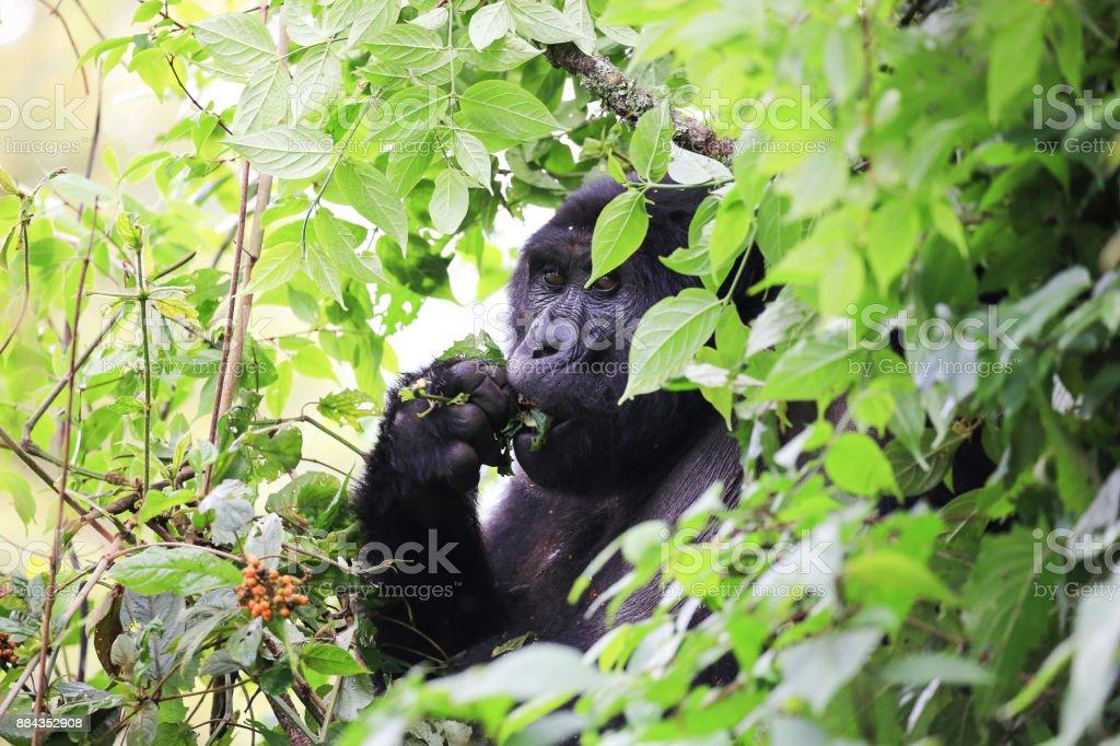 Berggorillas im Bwindi Impenetrable Forest National Park im Westen Ugandas zu essen. – Foto