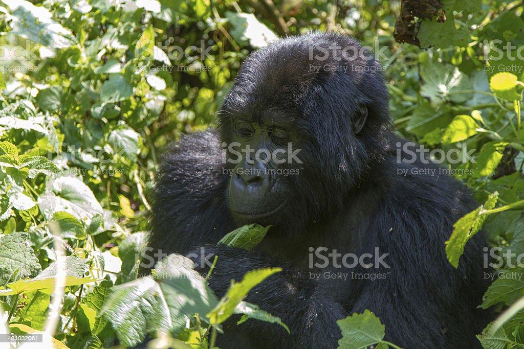 Mountain Gorilla eating. stock photo