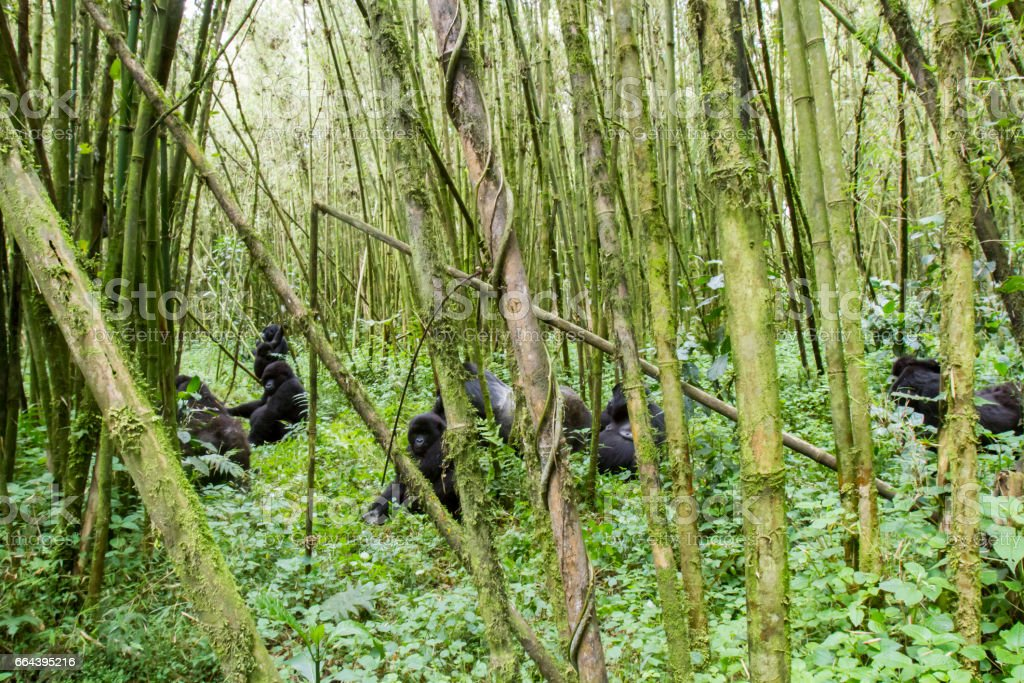 Mountain gorilla group in Volcanoes National Park, Virunga, Rwanda stock photo