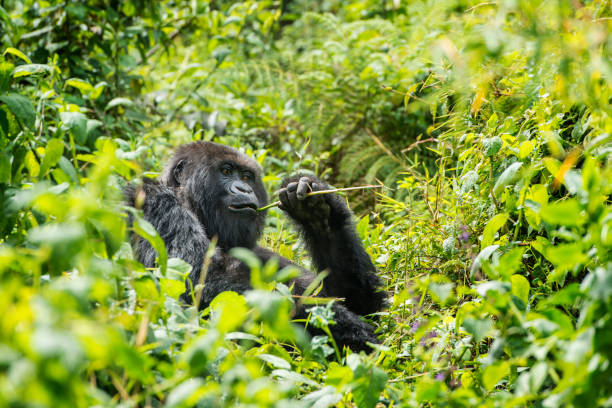 mountain gorilla (gorilla beringei beringei) in the jungle, rwanda - republic of the congo stock photos and pictures