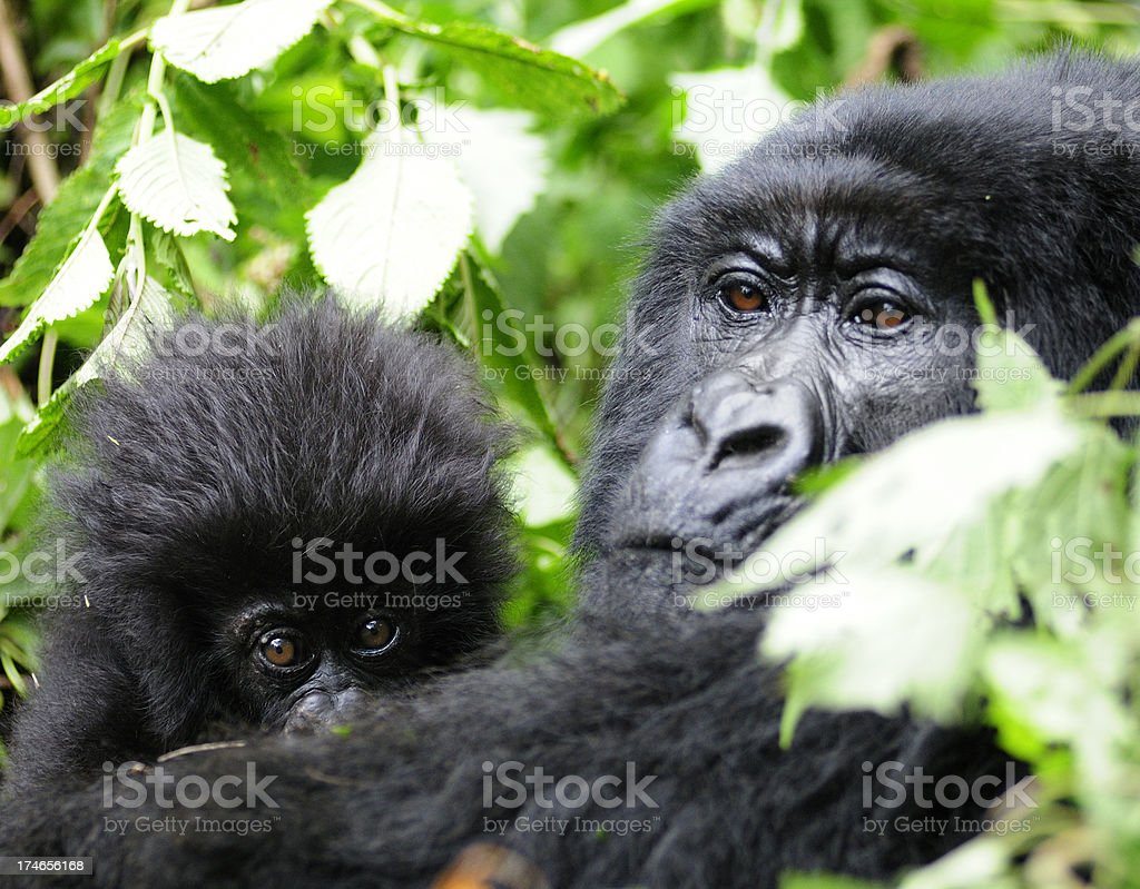 Mountain Gorilla Mother and Baby royalty-free stock photo