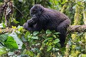 young Mountain Gorilla in the Bwindi Impenetrable National Park, Uganda