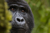 Close-up of a Mountain Gorilla in the Bwindi Impenetrable National Park, Uganda
