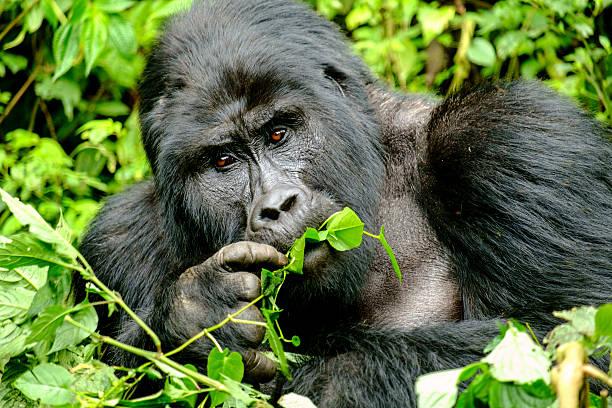 gorila de montaña - gorila fotografías e imágenes de stock