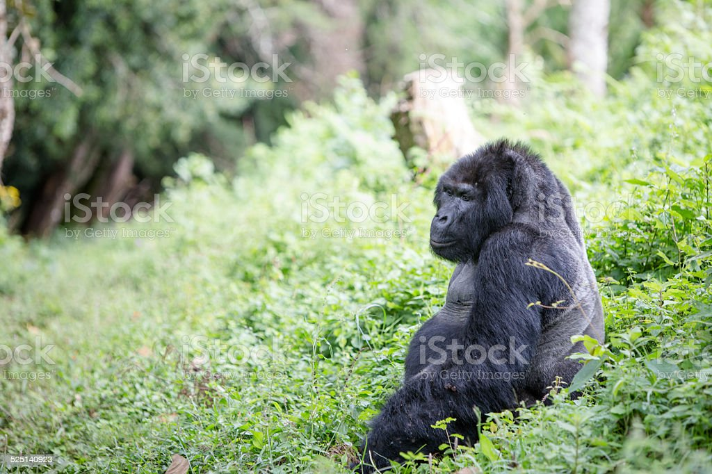 Mountain gorilla stock photo