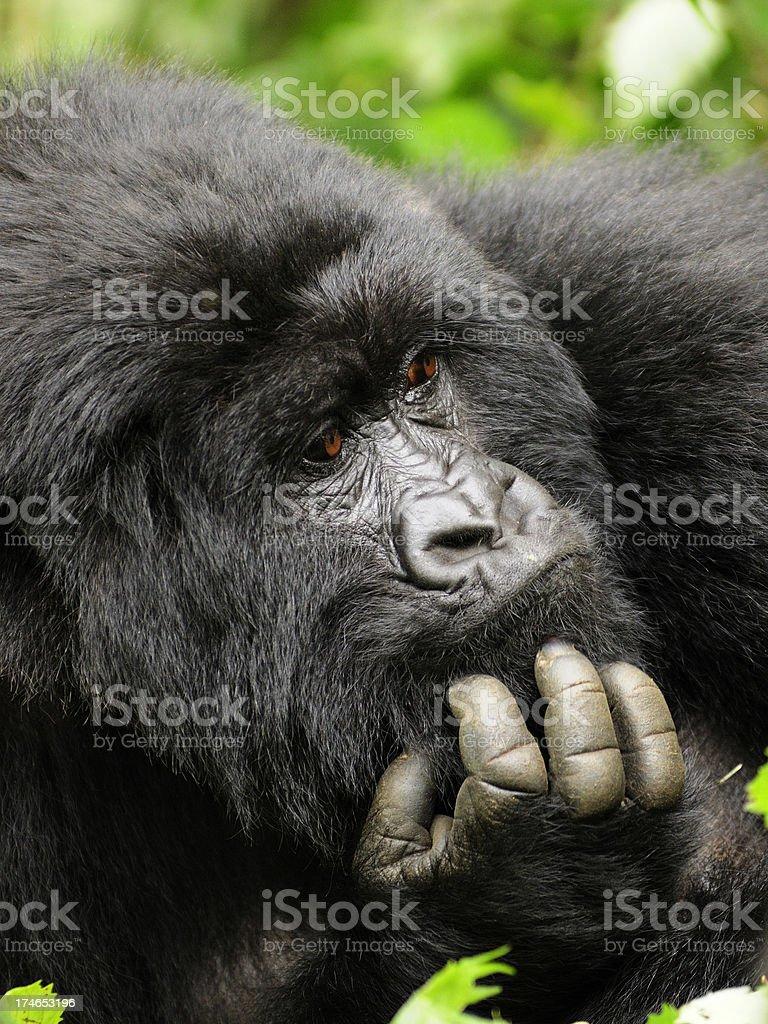 Mountain Gorilla Pondering Life royalty-free stock photo