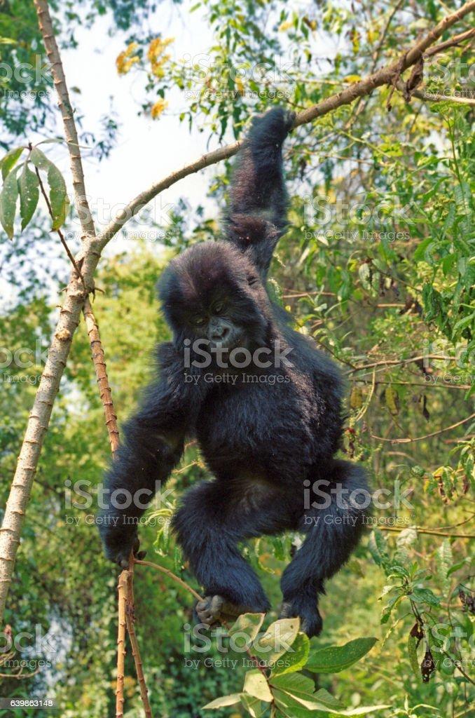 Mountain gorilla, Volcano National Park, Rwanda stock photo