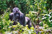 Mountain gorilla in Volcano National Park, Rwanda.