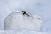 Mountain hare (Lepus timidus) resting in snow.