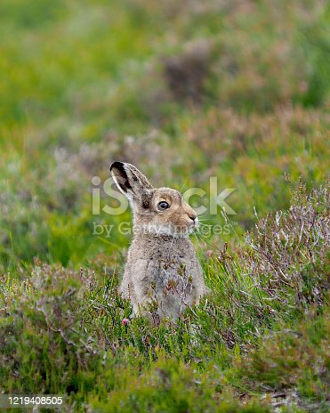A Mountain Hare (Lepus timidus) rests among Heather in Speyside, in the Scottish highlands