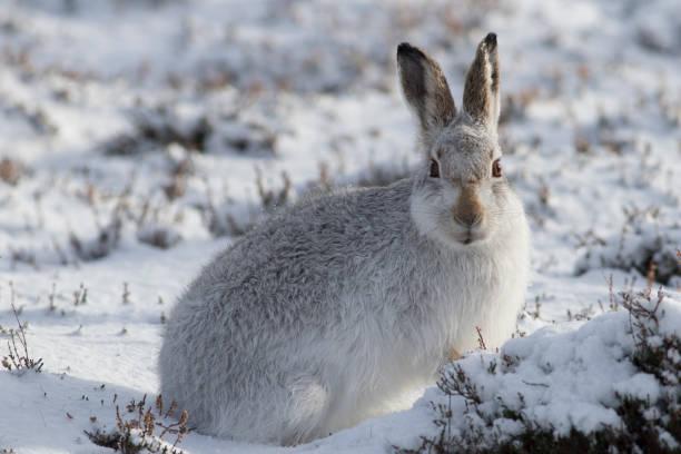 Mountain Hare (Lepus timidus), Scotland stock photo